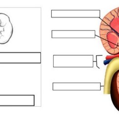 Labeled Kidney Diagram Renal Column Venn Dna And Rna Urinary System