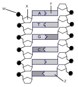 Review Guide: DNA and Geic Engineering