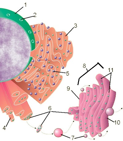 endomembrane system diagram cause and effect tree animal plant cell labeling