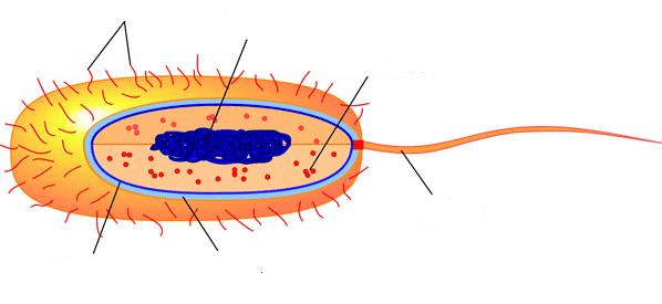 Fimbriae Prokaryotic Cell Edition Prokaryotic Cell
