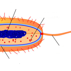 Bacteria Structure Diagram 2007 Honda Vtx 1300 Wiring Cell And Function Ap Biology All Cells Have Three Basic Features Membrane Genetic Material Cytoplasm