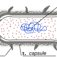 Blank Prokaryotic Cell Diagram Nissan Radio Wiring Bacteria (prokaryote) Coloring