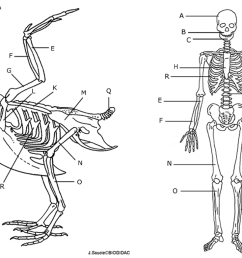 the longest bone in the bird s leg is the in a humans 14 next to each letter on the human skeleton write the name of the bone  [ 1118 x 784 Pixel ]
