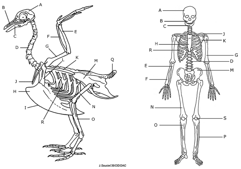 medium resolution of the longest bone in the bird s leg is the in a humans 14 next to each letter on the human skeleton write the name of the bone