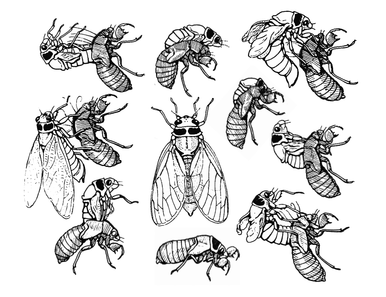 Cicada Life Cycle Diagram