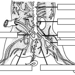 External Fetal Pig Muscle Diagram River Features Dissection Of The Lower Arteries