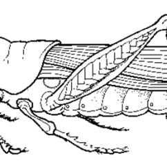 External Grasshopper Diagram Doorbell Wiring Diagrams Anatomy And Dissection Coloring