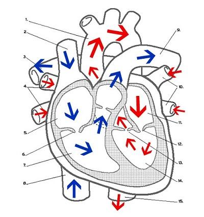 label heart diagram worksheet answers saab wiring diagrams labeling key