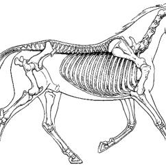 Humerus Bone Diagram Car Security System Wiring Comparing Vertebrate Skeletons