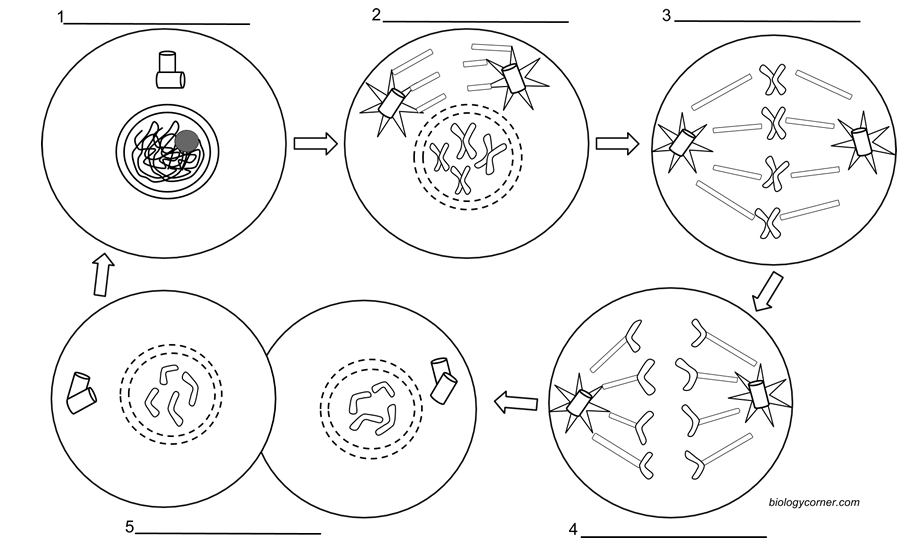 mitosis and meiosis stages diagram star delta wiring diagrams coloring