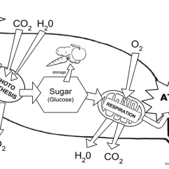 Chloroplast Diagram With Labels 2003 Pontiac Sunfire Stereo Wiring Structure And Function Coloring Leaf