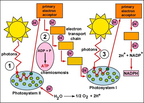 light reactions photosystem diagram residential electrical panel wiring photosynthesis nadph and atp produced by noncyclic flow electrons in thylakoid membrane are used enzymes stroma during independent