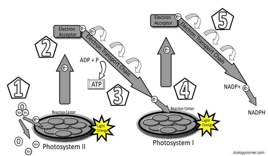 Photosystems Labeling