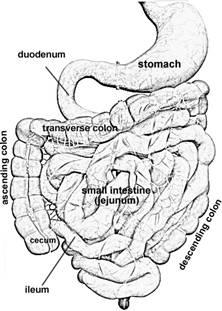 rat digestive system diagram quiz reading electrical ladder head thoracic abdominal colon