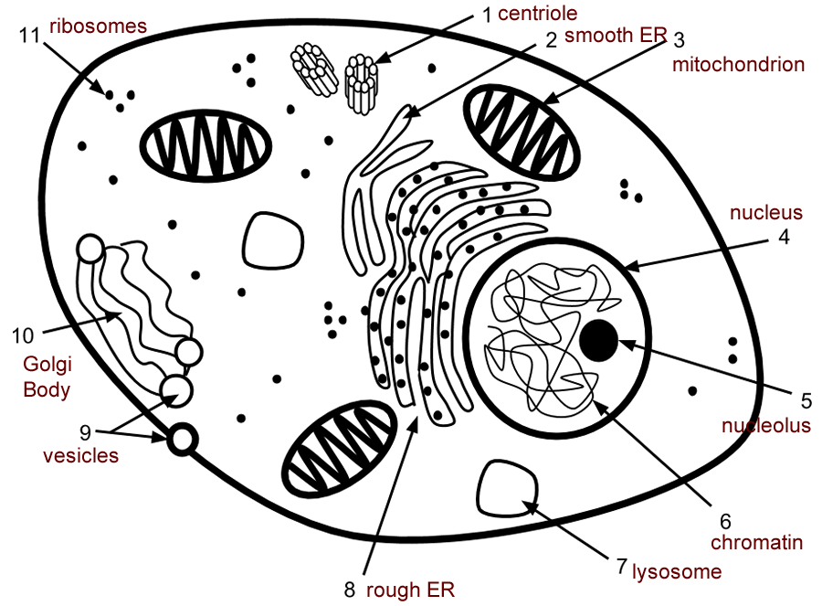 Simple Animal Cell Without Labels