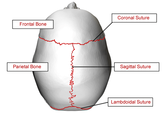 label the eye diagram answers 2002 toyota corolla stereo wiring skull all data labeling pelvis 1 coronal suture 2 frontal 3 parietal 4 nasal 5 squamosal