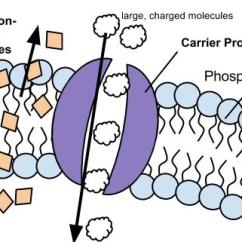 Parts Of A Cell Diagram What Is Grouped Frequency Membrane Structure And Function Chapter 5