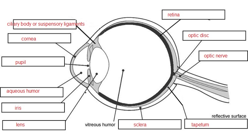 labelled diagram of a cow rheem furnace eye dissection parts separated labeling