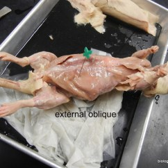 Skeletal Muscle Diagram Labeled Moss Rat Dissection Step 4