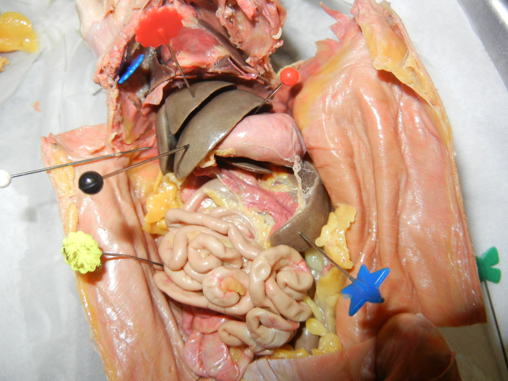 rat dissection diagram test questions 1994 club car 36 volt wiring anatomy the biology corner