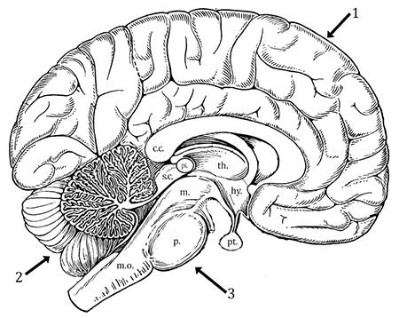 Brain Anatomy (Coloring)