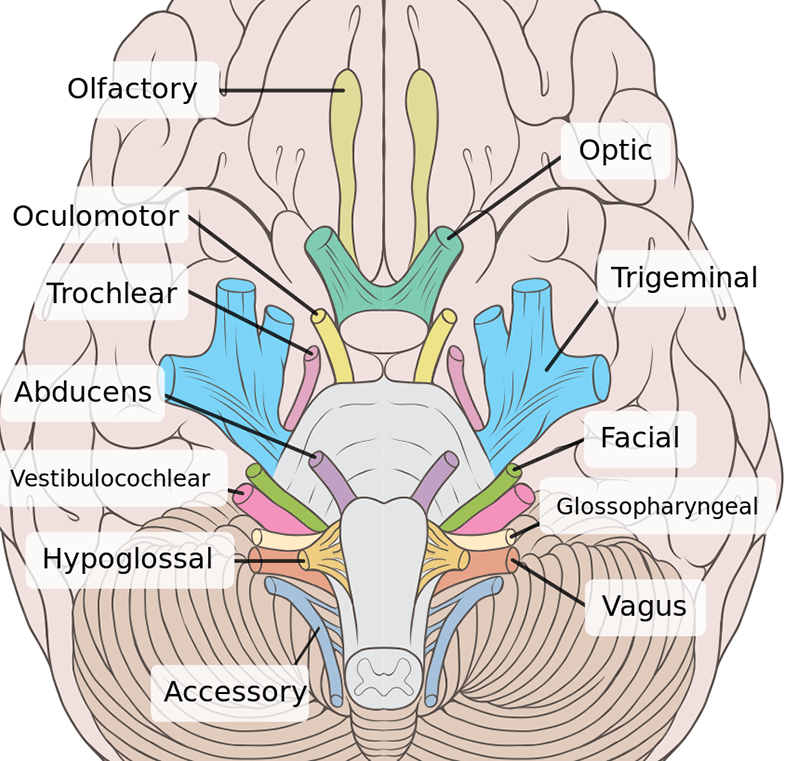 sheep brain diagram biology corner electric window wiring diagrams how to learn the 12 cranial nerves