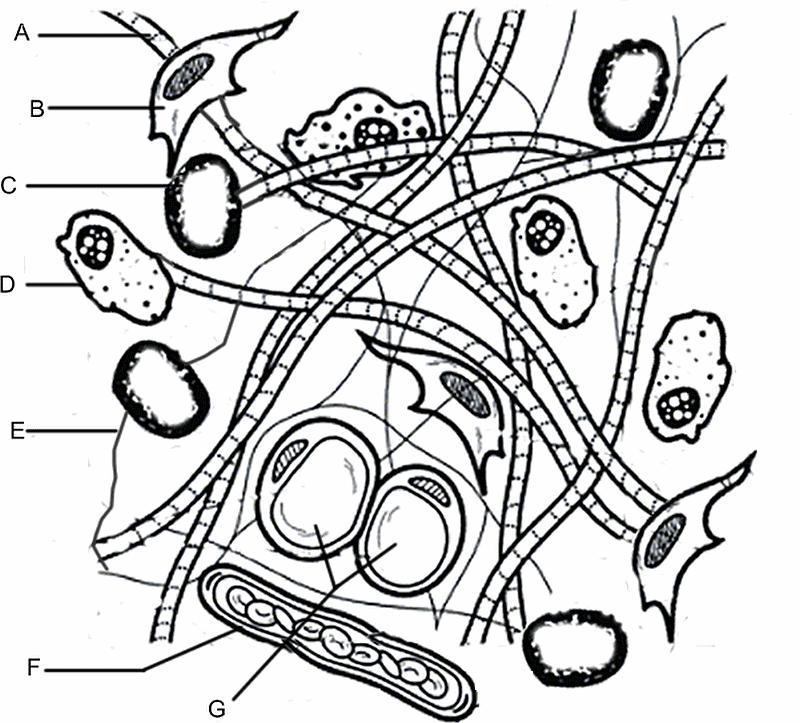 Color the Connective Tissue Matrix