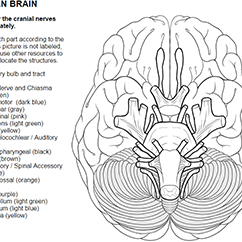Sheep Brain Diagram Biology Corner Vdo Gauge Wiring How To Learn The 12 Cranial Nerves Many Anatomy Classes Will Require Students In Order Twelve A Quick Internet Search Reveal Several Mnemonic Devices