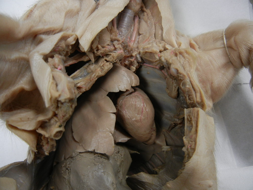 Fetal Pig Dissection Images