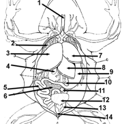 Frog Head Diagram Labeled Nervous System And Functions Organ Unlabeled Tiga Stanito Com Anatomy Coloring Worksheet Rh Biologycorner Dna External