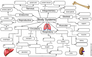 Body Systems Graphic Organizer