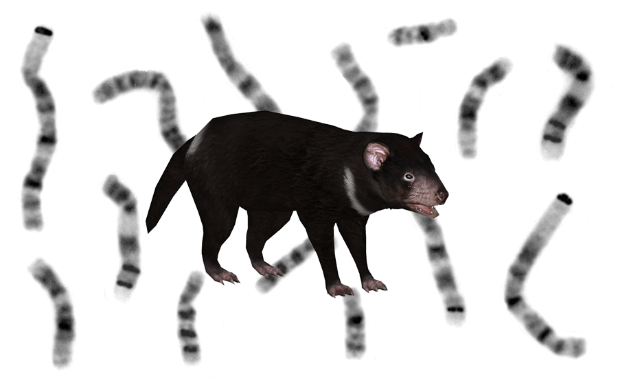 Karyotype of Tasmanian Devil Chromosomes