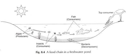 write the food chain operation in a fresh water pond