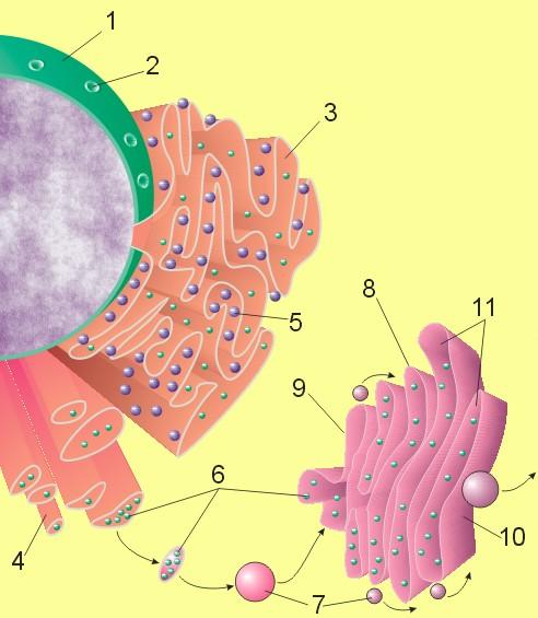 Κύτταρο  - Πυρήνας, Golgi, Ενδοπλασματικό δίκτυο, Ριβόσωμα