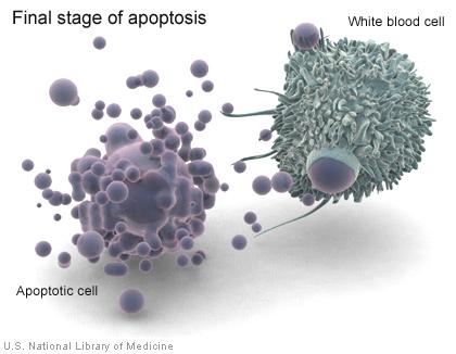 apoptosismacrophage
