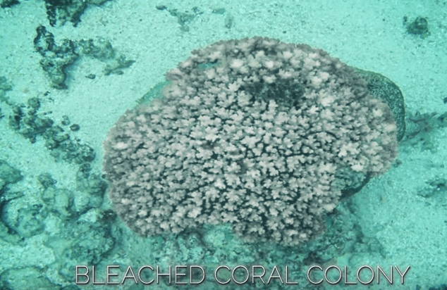 Coral Bleaching Animation