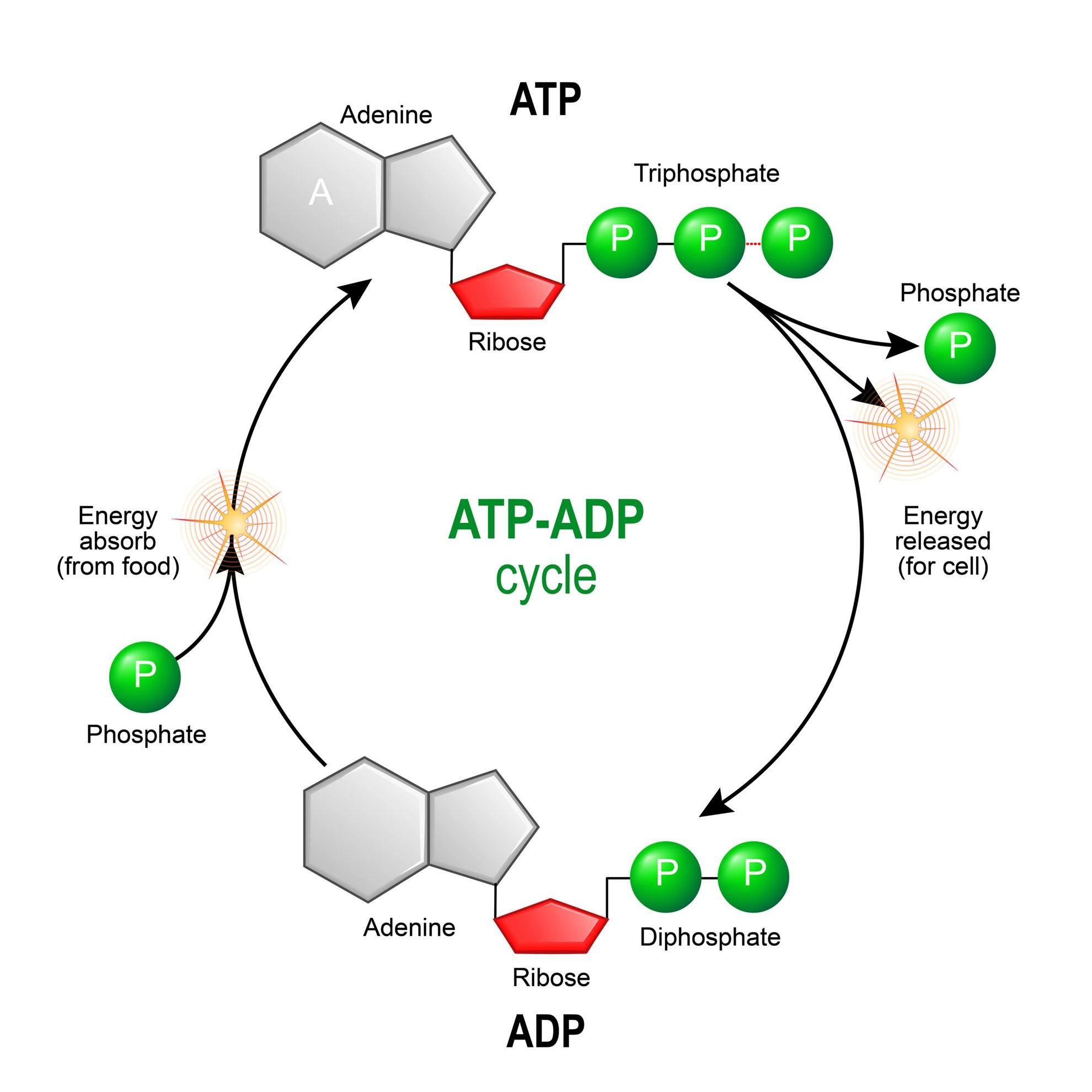 ATP & ADP - Biological Energy - Biology Online Tutorial