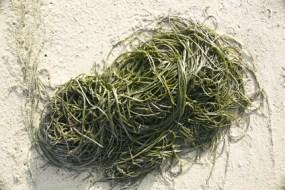 Alga Fucus para bajar de peso