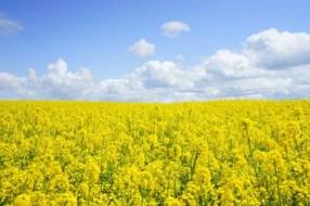 Austria declara moratoria para importación de colza transgénica