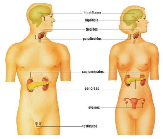 Cuida tus glándulas (tiroides, suprarrenales etc.)