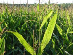 España: el cultivo de maíz transgénico vs. ecológico