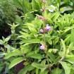 La Salvia: Propiedades terapeúticas y Cocina