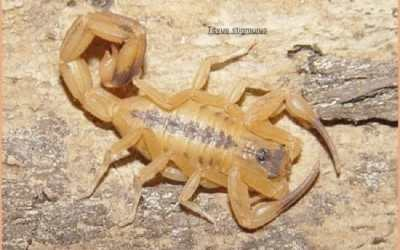 Escorpião Amarelo: Altas temperaturas favorecem a disseminação