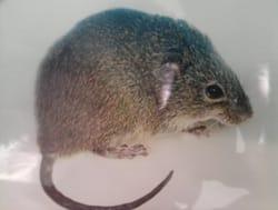 roedor: bolonys_lasyurus