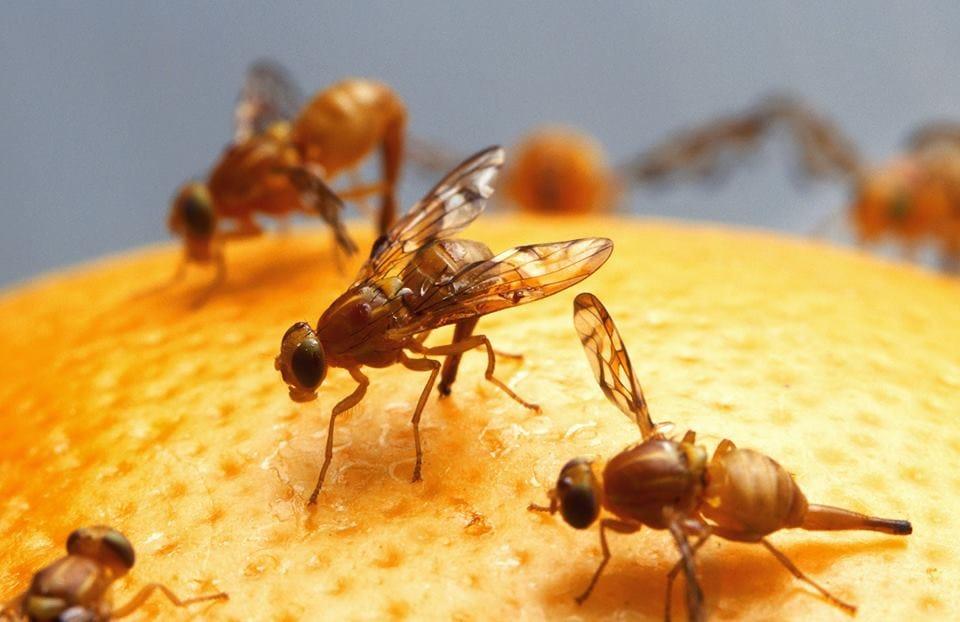 A Mosca de Fruta: Organismo Mais Utilizado na Pesquisa Genética