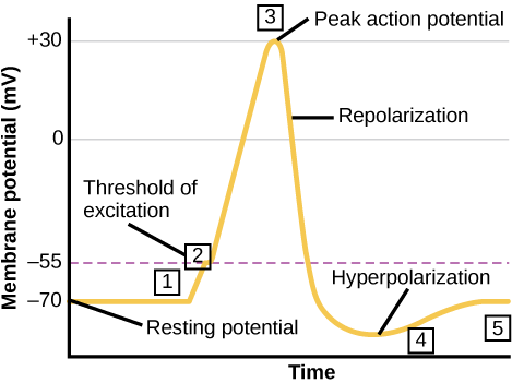 Waveform of an action potential.