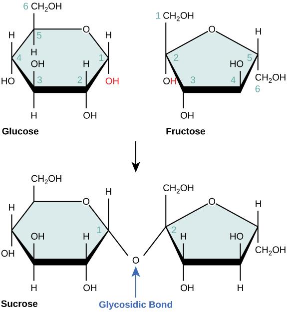 Monosaccharides and disaccharides.