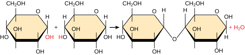 Dehydration synthesis of sugars