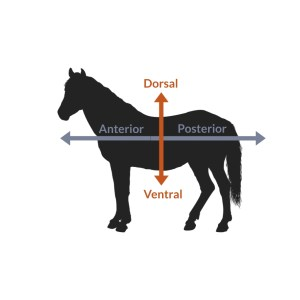 ventral, dorsal, anterior, posterior on a four legged animal
