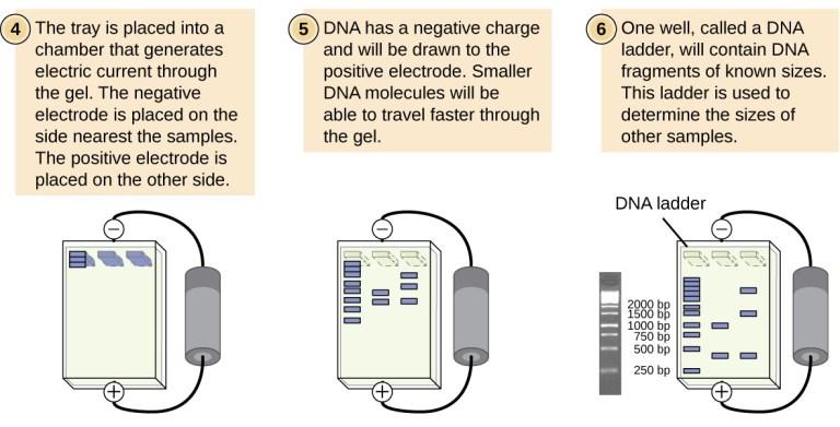 Steps for doing a gel electrophoresis experiment
